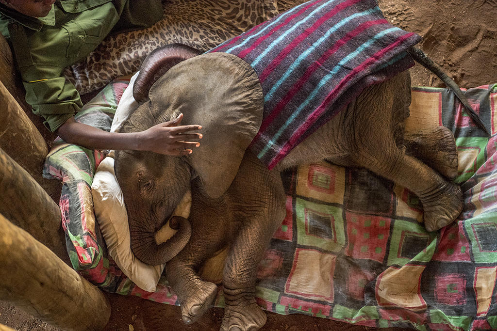 Vitale photographs Mary Lengees, one of the first indigenous Samburu women elephant keepers in Africa, caring for Suyian, an elephant rescued by the Reteti Elephant Sanctuary, the first indigenous-owned elephant sanctuary in northern Kenya.
