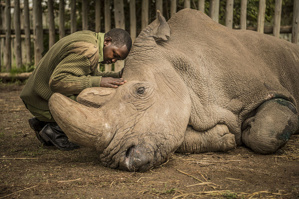 In many ways, Vitale's photograph is both a timely and timeless one: It depicts Sudan, the last living male Northern White Rhino left on this planet being comforted by Joseph Wachira at the Ol Pejeta Conservancy moments before he passed away on March 19, 2018 in northern Kenya. Sudan was brought to Kenya from Safari Park Dvur Kralove in the Czech Republic in 2009.