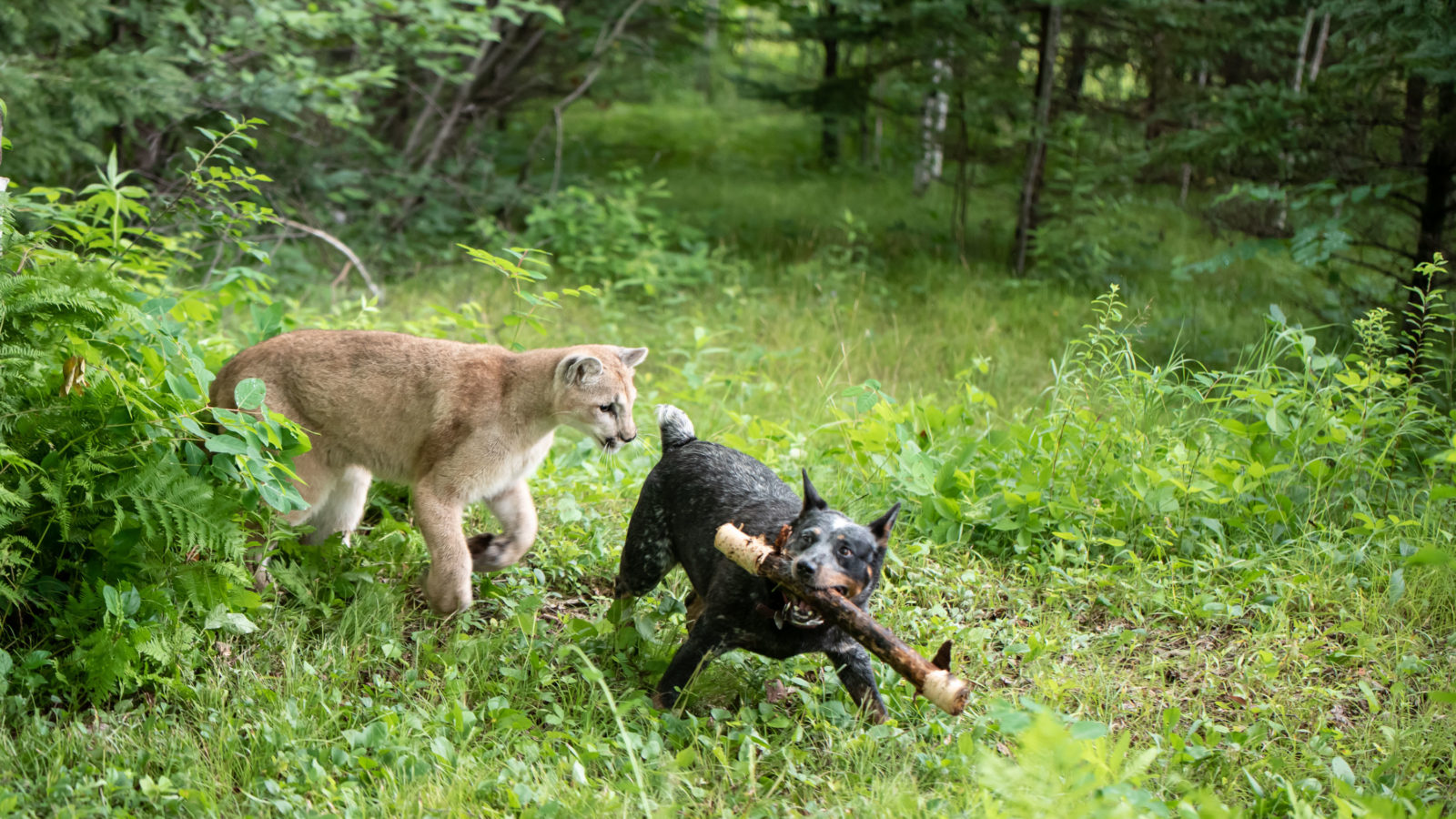 Playing with Pumas